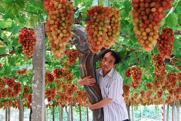 Самый большой виноград