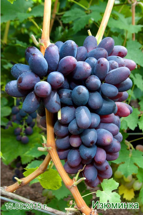 любителей карповой сорт винограда изюминка фото и описание хорошем помечтать, плакать
