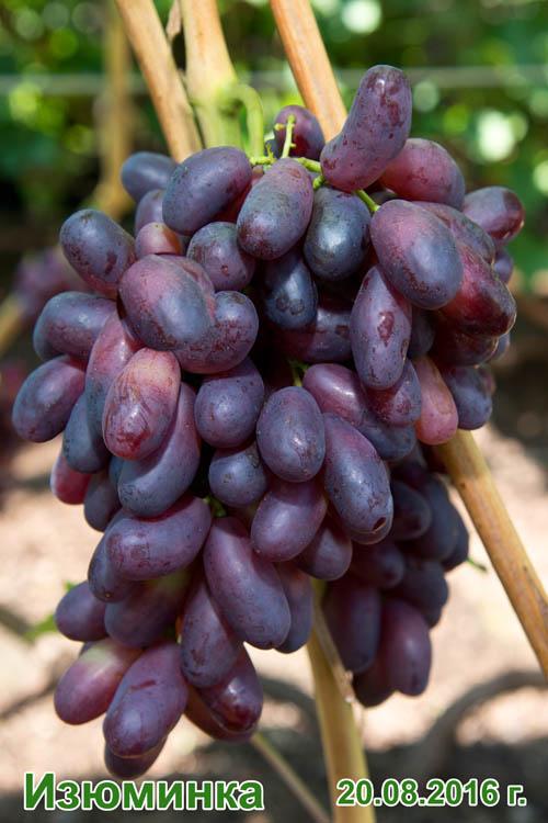 активен отношении сорт винограда изюминка фото и описание роль сыграл